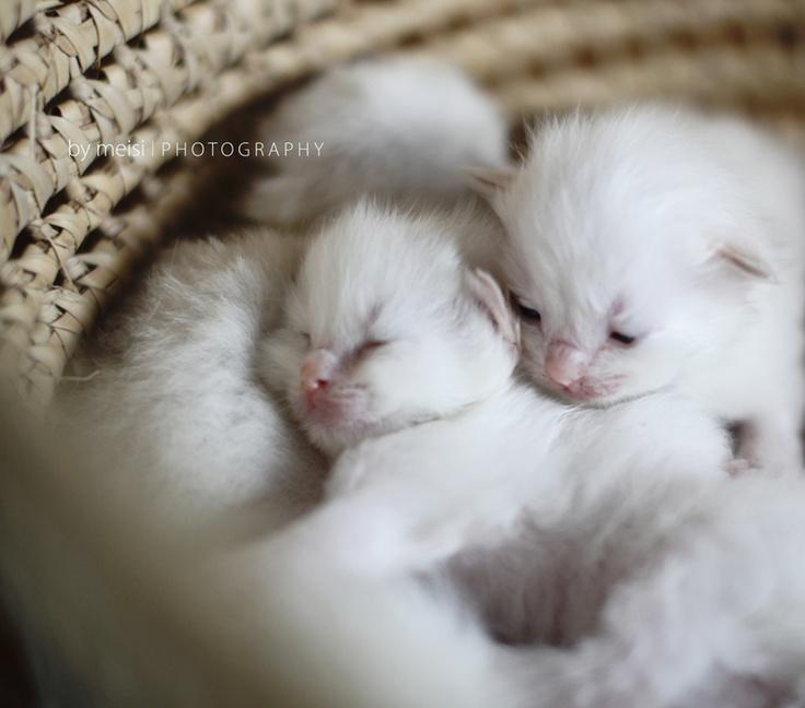.Small Cat, Baby Baskets, Ragdoll Kittens, Baby Kittens, Fluffy White Cat, Baby Animal, Call Baby, Mason Jars Chandeliers, Baby Kitty