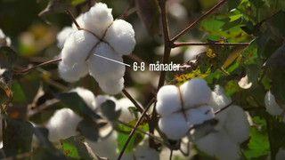 Från frö till bomullskjorta