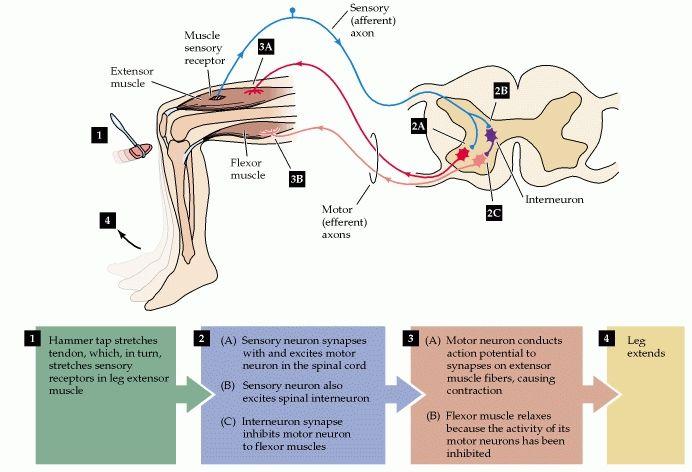 ImageQuiz: Lab 7: Spinal Neuronal Myotatic Reflex Cross-section