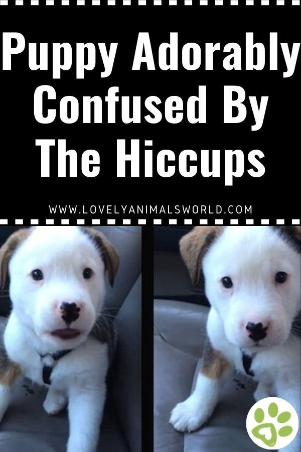 Puppy Adorably Confused By The Hiccups Puppies Dog Stories