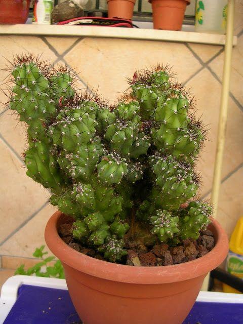 Cereus Peruvianus var. monstruosus : Cactus y Suculentas de Amanecer