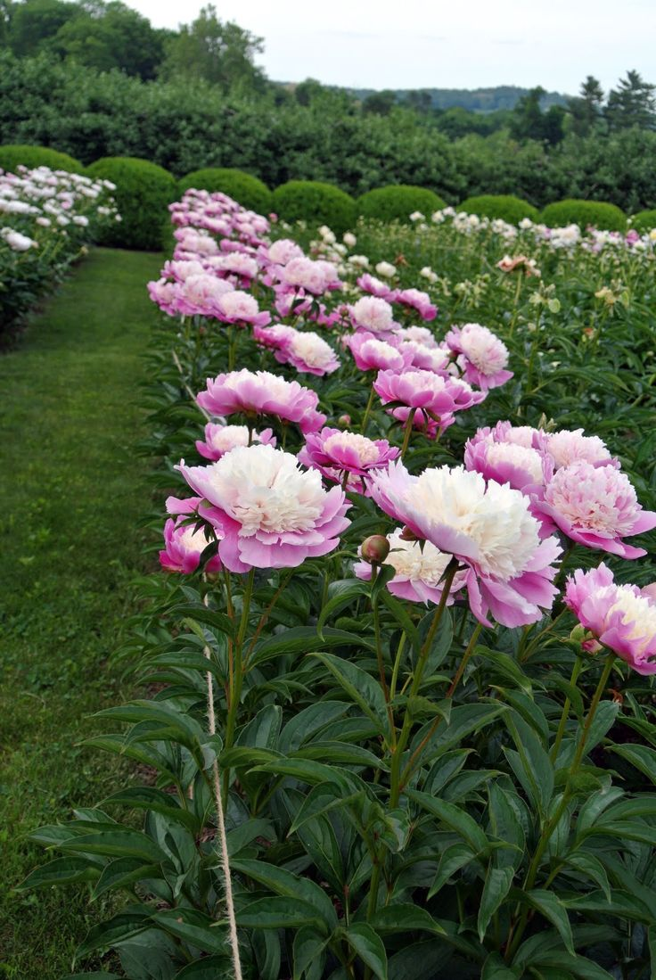 17 Best Images About Peonies On Pinterest Gardens Peony