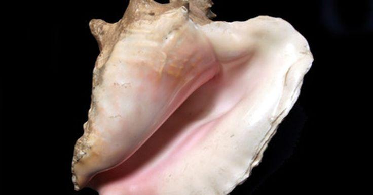 Cómo limpiar el caparazón de un caracol marino. Cómo limpiar el caparazón de un caracol. Los caracoles marinos suelen ser grandes y con un hermoso caparazón. Los platillos que se pueden hacer con los caracoles marinos son considerados un manjar. Sigue estos pasos para aprender a matar y limpiar un caracol marino para que puedas utilizarlo para preparar tu receta favorita.