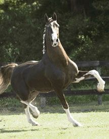 }{     dutch harness horse, wow, look  at that action!