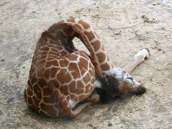 how do giraffes sleep? awkwardly