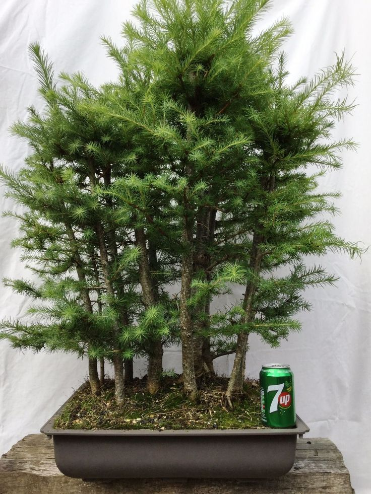 Bonsai tree, Japanese Larch Forest in Garden & Patio, Plants, Seeds &…