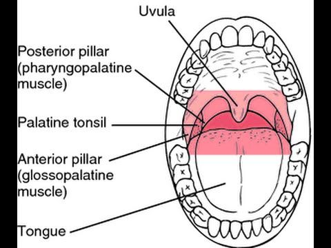 Gag Reflex involve two cranial Nerves: IX (glossopharyngeal nerve) and X (Vagus nerve) - YouTube