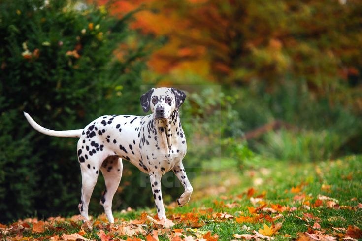 """Dalmatian dog in autumn forest"" by Jenny Rainbow - £10"