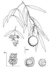 Quondong Santalum acuminatum