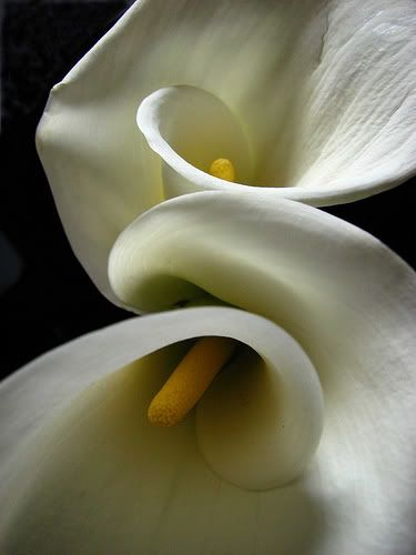 Calla Lilies Nice shot! I've always loved the callas and white on black is beautiful!  Keep shooting those petals.