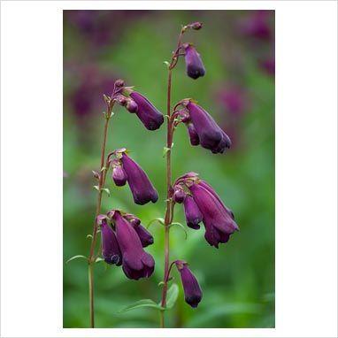 GAP Photos - Garden & Plant Picture Library - Penstemon 'Raven ...