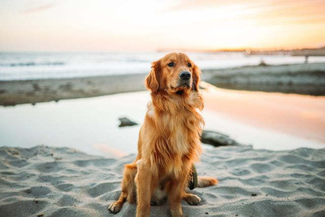 Want A Breed Like A Golden Retriever But Not Quite See These 4