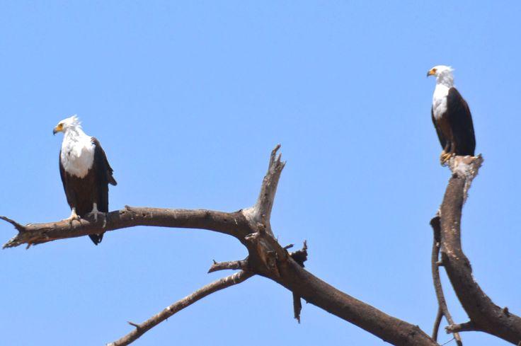 African fish eagles, Ruaha, Tanzania. #AfricanFishEagles #RuahaNationalPark #RuahaRiverLodge #TrekkingBureauet  #HenryRasmussen