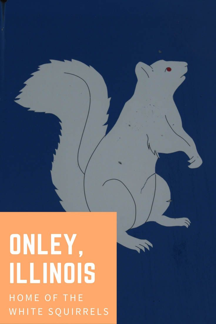 Olney, Illinois: Home Of The White Squirrels http://www.sillyamerica.com/blog/olney-illinois-home-of-the-white-squirrels/