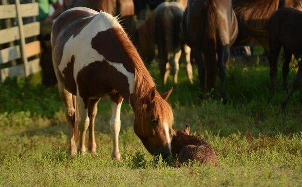 163 Best Images About Horses Chincoteague Pony On
