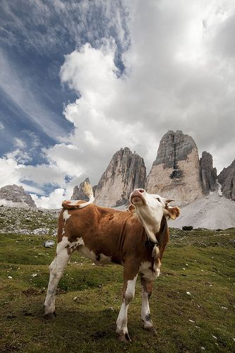 Mucca Superstar delle Tre Cime | Flickr - Photo Sharing!