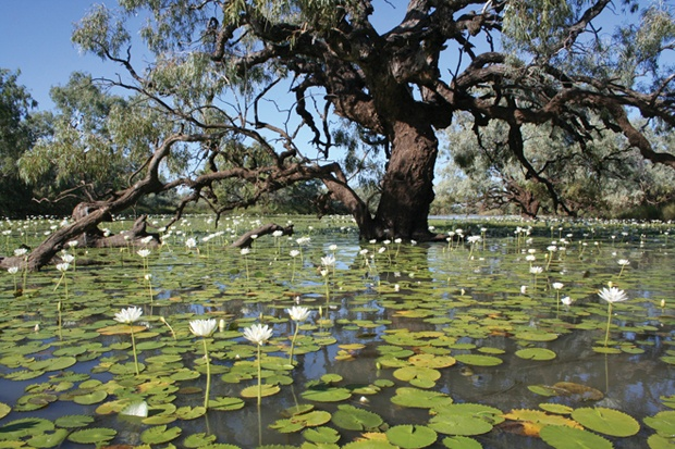 Lily Lagoon, an ephemeral lake near Longreach, Queensland.     Photo from Desert Channels: the impulse to conserve from CSIRO publishing.  Photo Credit: Steve Wilson