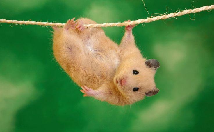 Cute Hamster HD Wallpaper