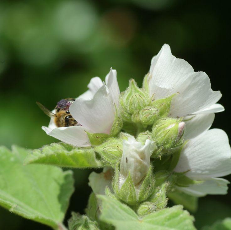 Echte heemst (Althaea officinalis). DE: Eibisch. EN: Marshmallow