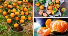 La mandarina es una fruta muy deliciosa llena de muchos beneficios para nuestra salud, por esa razón es una de las frutas que no debe faltar en nuestro hogar, ya que esta es sumamente rica en vitamina C y B, contiene ácido cítrico, caroteno, que ayudan a combatir diversas enfermedades y malestares,