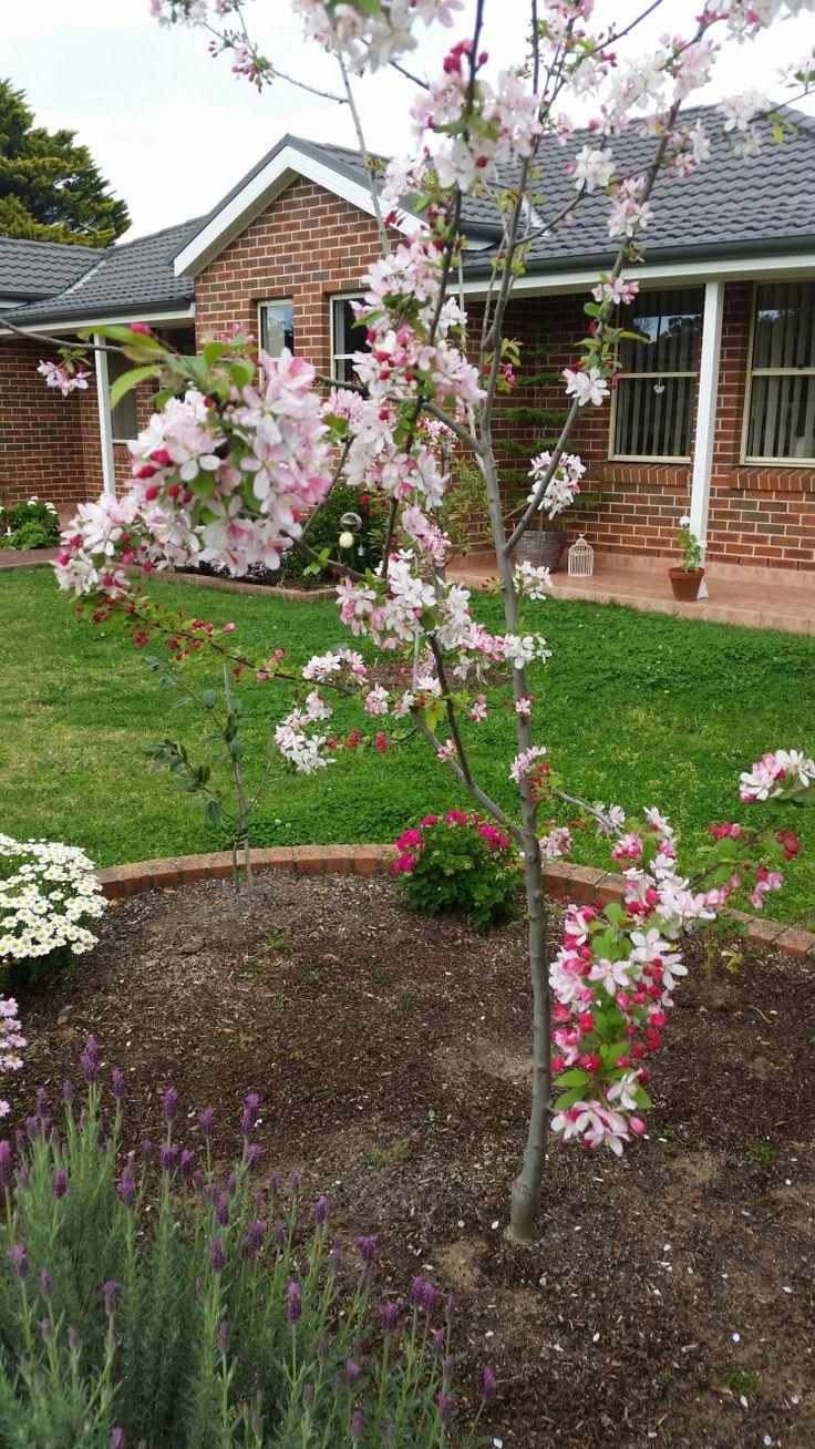 My crabapple tree 2015