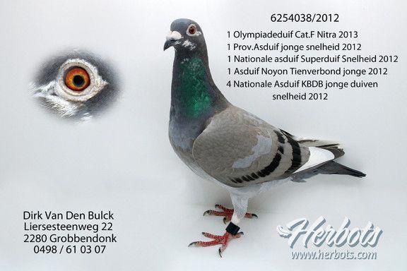 DIRK VAN DEN BULCK : 1ST OLYMPIA BIRD CAT.F NITRA 2013 - ENGLISH REPORT • Herbots • Herbots