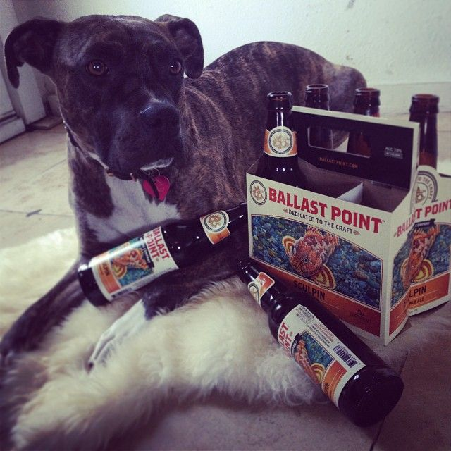 Spent Sculpin Sixer #beer #drunk #dog #sixpack of @ballastpointbrewing #sculpin #ipa #expensive #taste for a #pup #yum #california #craftbeer #actuallyforme #happyhour at #home #cute #tipsy #brindle #pitbull #boxer #mix #myinstapit #ourpitpage #pitbulladvocate #pibble #dogsofinstagram #dogsofficialdog #rescuedog