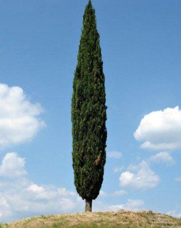Cipressus sempervirens. CIPRESSO