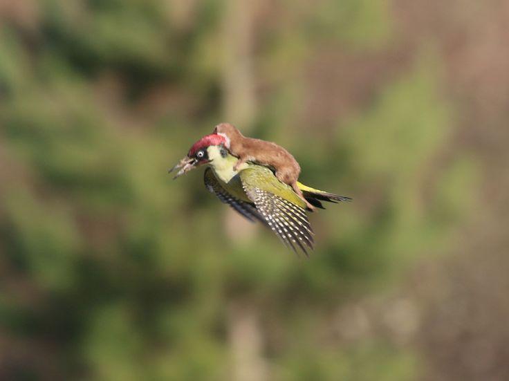 Weasel hitchhiking a woodpecker