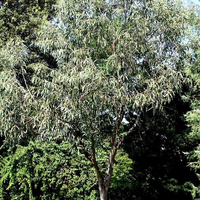 Eucalyptus des neiges ( Eucalyptus niphophila )