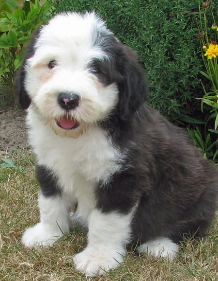 Raindrop thoughts.: Old English sheepdogs