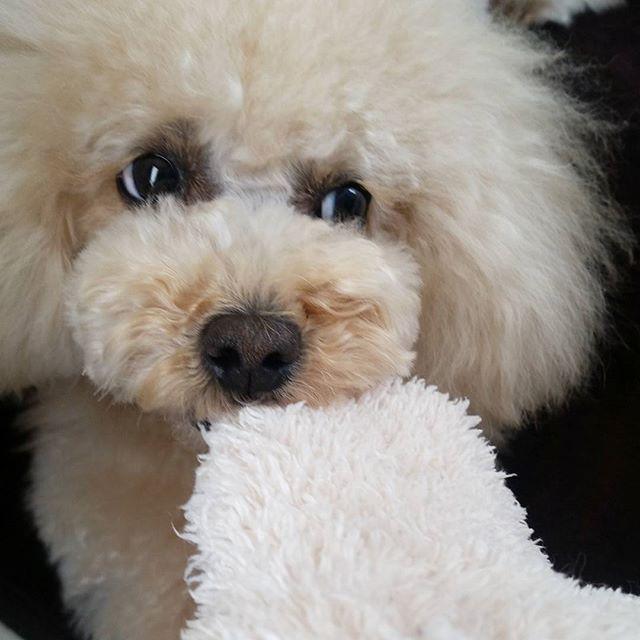* ラブリーな仲良し親子フェイ&ルルちゃん🐶❤🐶 @fee.lulu.nakayoshi さんから #ドヤ顔 バトン受け取ったよ😆🎵 * お気に入りのおもちゃでママと引っ張り合い💥 負けるもんか〰‼と強気な#ドヤ顔 みるたん❤ このチラッと見える白👀がたまらなく好き😍💓 * バトンバトンここに置いておくので 興味のある方は是非やってみてね💕 * #トイプードル#プードル#トイプー#愛犬#みるく#白目#お気に入りのおもちゃ#多頭飼い#teamニヤニヤ#美犬部#北海道ワンコ支部#大好きなマロンちゃんに特大の元気玉#大好きなハレちゃんに特大の元気玉 #toypoodle#poodle#dog#ilovemydog#doglover#dogstagram#dogs_of_instagram#dogsofinstagram#instagramdogs#instadog#kawaii#cutedog