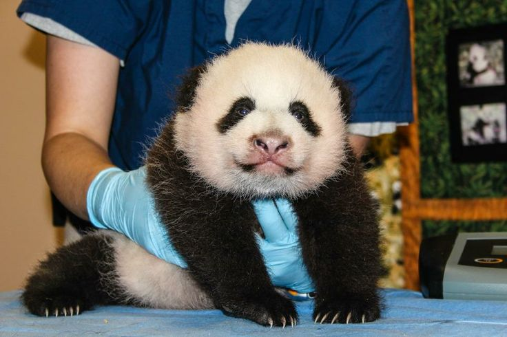 New, Exclusive Photos of Washington DC's new Baby Panda! So adorable, so cute!! You can submit a vote for her name!
