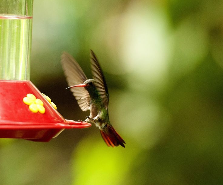 The hummingbirds making a pit stop at one of our 5 sweet water containers.