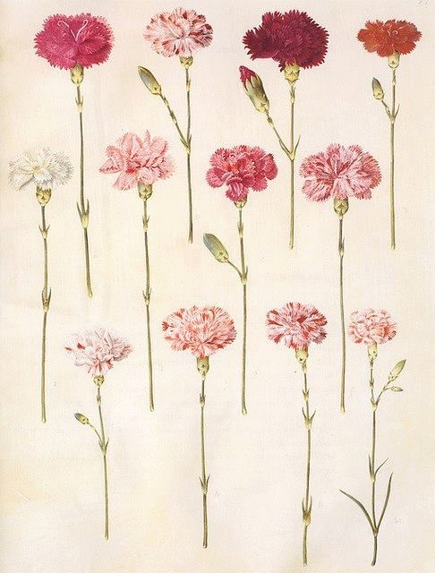 Carnations 'Dianthus Caryophyllus' from the Gottorfer Codex, a collection of gouache paintings on vellum depicting flowers of the garden of Schloss Gottorf, Denmark, created between 1649 and 1659
