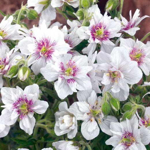 Geranium Pratense 'Double Jewel' soleil ou mi-ombre 12-24'' floraison fin printemps - automne**