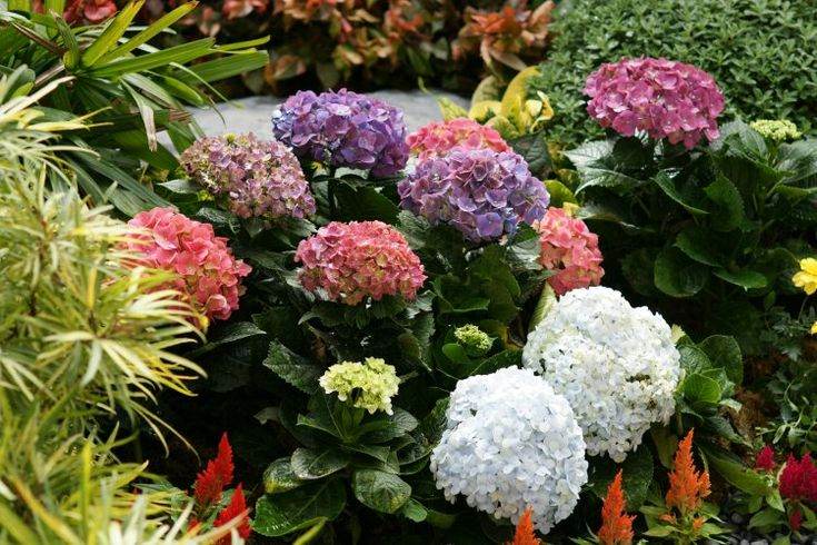 Coloridas flores de Hortensia para el concepto de Jardín Tropical