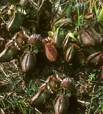 Cephalotus, Piante carnivore, Piante insettivore, Cephalotus follicularis, Pianta, Cefalotus