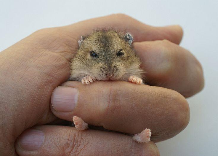 Baby hamster