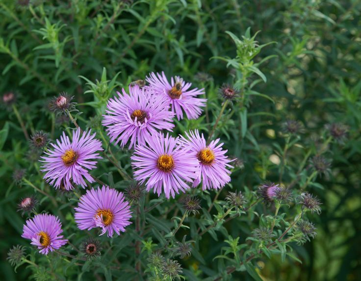 Aster novae-angliae -asteraceae - lanceolate, simple leaves - sprays of yellow disk flowers, pink/purple ray florets - herbaceous perrenial - clay soil tolerant