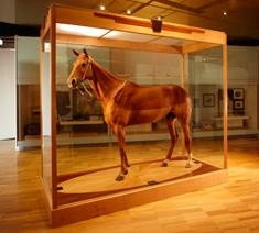 Phar Lap, Melbourne Museum  BREED IN NEW ZEALAND