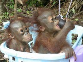 Save the Orangutan :: Rehabilitation