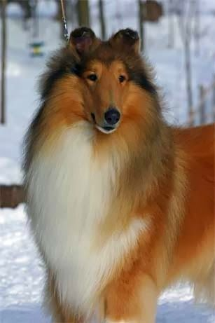 Collie is among the Top 5 Most loveable dog breeds. Click the pic for full list