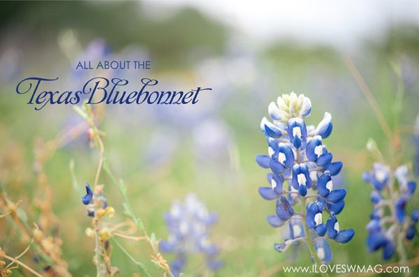 all about the Texas bluebonnet!: Texas Wildflowers, Blue Flowers, Southern Weddings, Southern Wedding Magazines