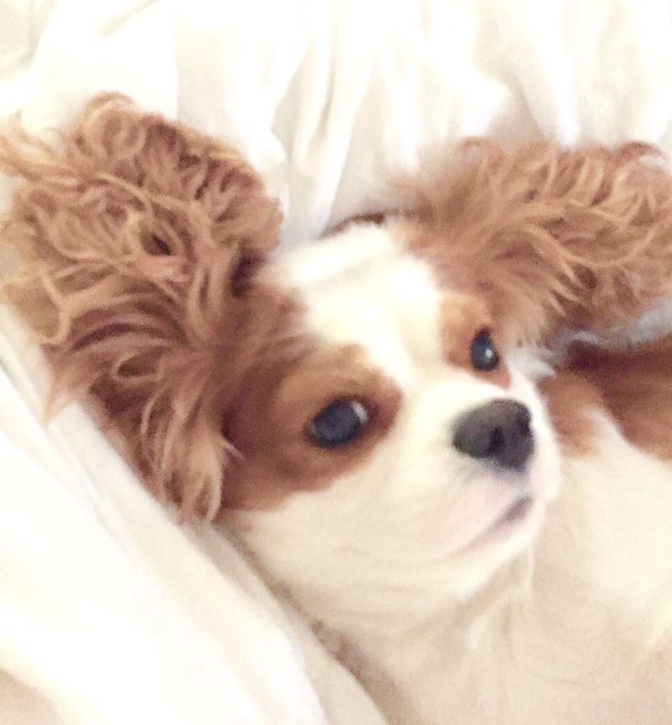 Linus, .. Cutest Cavalier King Charles ever, and he's mine :)