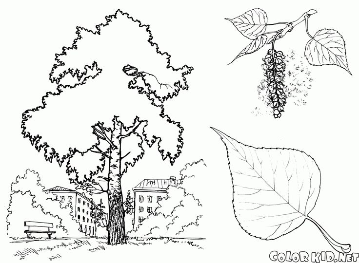 download or print out the coloring page poplar tree