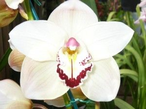 Moon Orchid Indonesia National Flower
