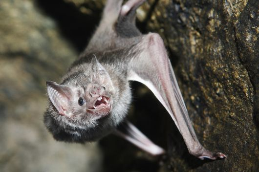 Vampire bats don't actually suck blood. Instead, they use their razor sharp teeth to make a small incision in the skin of a sleeping animal and then consume the blood as it runs from the wound.  Bat saliva has a similar anesthetic quality to that of a mosquito, which helps prevent the victim from even feeling the cut.