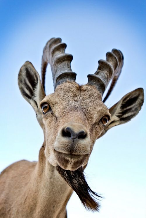"""An Ibex: Says: """"Mr. Wildlife Photographer ~ This is what is known as: 'Invading My Personal Space!' However, I'll forgive you ~ THIS time at least!"""""""