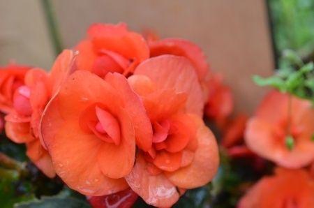 Os gustan las begonias. Os la presentamos. http://www.pensandoenflores.com/blog/las-begonias/